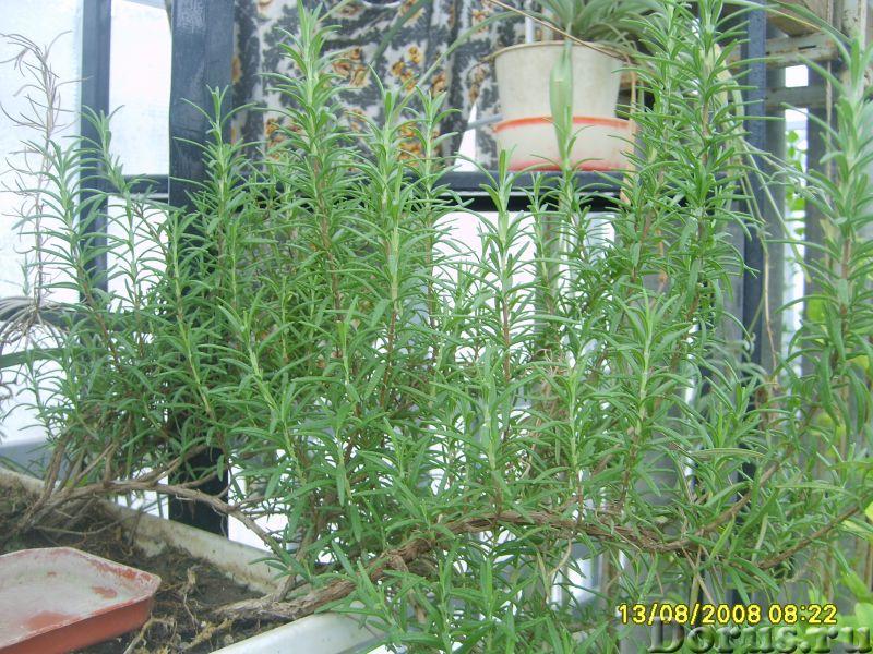 Розмарин - лекарственная прянность - Растения комнатные - РОЗМАРИН лекарственный - вечнозелёный куст..., фото 1