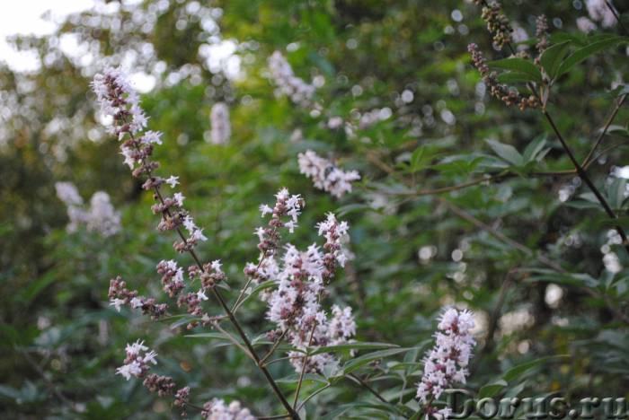 Витекс священный. саженцы и семена - Прочее по животным и растениям - Витекс. Плоды употребляют при..., фото 2