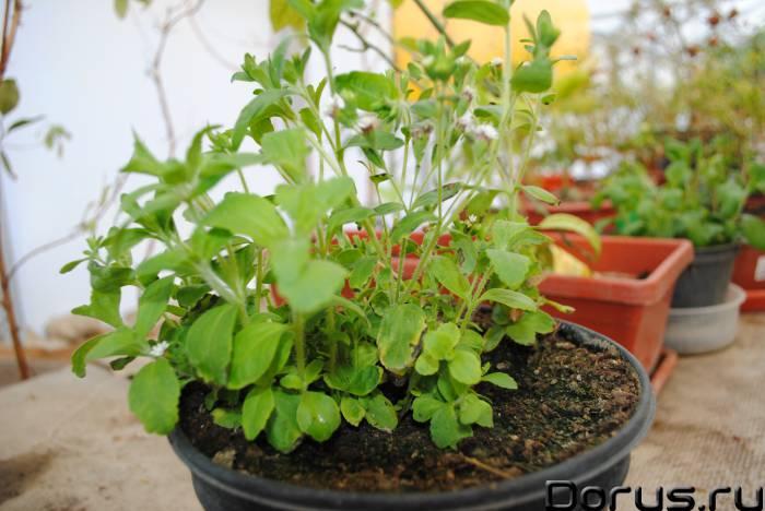 Стевия - сахароснижающее. (комнатное) - Растения комнатные - СТЕВИЯ – САХАР НА ОКОШКЕ Листья имеют п..., фото 1