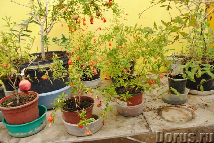 Гранат комнатный. Плоды съедобные - Растения комнатные - ГРАНАТ КАРЛИКОВЫЙ обильно плодоносит. Небол..., фото 2