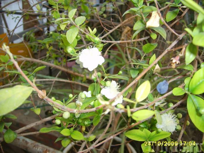 Мирт многолетнее лекарственное растение - Растения комнатные - МИРТ обыкновенный Комнатное. Растение..., фото 1