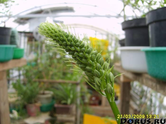 Птицемлечник - (индийский лук) помогает при ревматизме - Растения комнатные - ПТИЦЕМЛЕЧНИК хвостатый..., фото 1