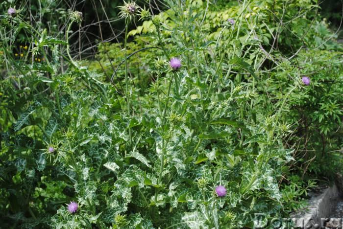 Расторопша - натуральный лекарь - Прочее по животным и растениям - Расторопша помогает при воспалени..., фото 1