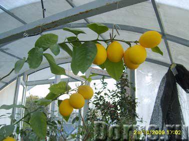 Лимон Мейера - Растения комнатные - Лимон Мейера. - уникальный сорт комнатного лимона. Потрясающая у..., фото 1