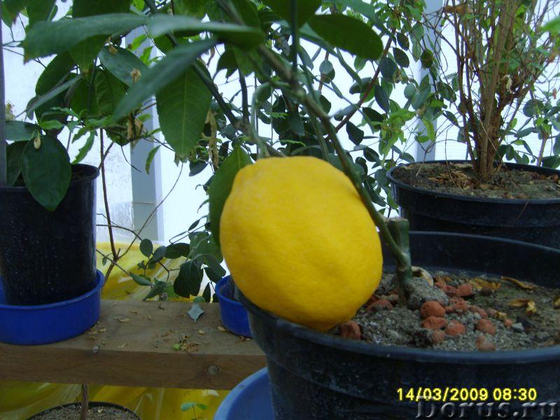 Лимон Мейера - Растения комнатные - Лимон Мейера. - уникальный сорт комнатного лимона. Потрясающая у..., фото 2