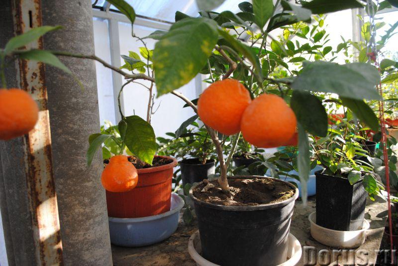 Как ухаживать за домашним мандарин в домашних условиях 803