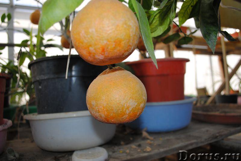 МАНДАРИН японский « Кавана Васэ» - Растения комнатные - МАНДАРИН японский « Кавана Васэ». (Citrus un..., фото 2