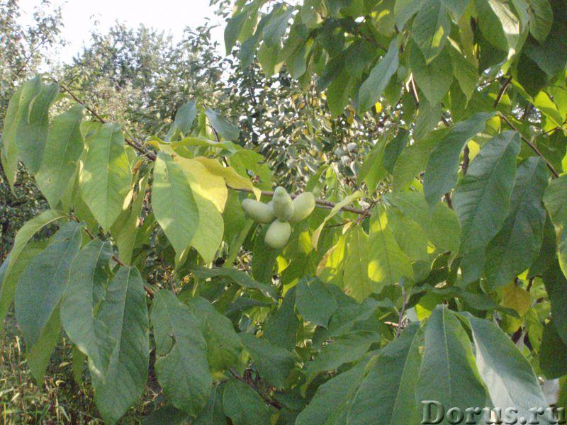Азимина - съедобный банан. Растёт в Пятигорске - Прочее по животным и растениям - Азимина. Плод азим..., фото 1