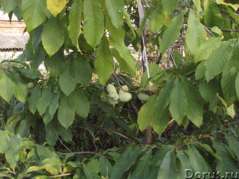 Азимина - съедобный банан. Растёт в Пятигорске - Прочее по животным и растениям - Азимина. Плод азим..., фото 3